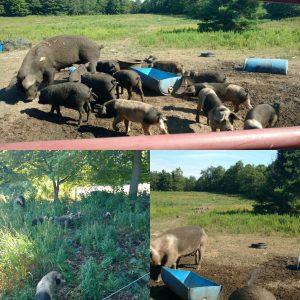 freerange pigs
